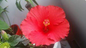 hibiscusul-meu